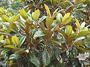 1 Starter Plant of Green Giant Magnolia