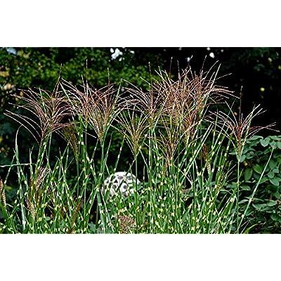 20 Miscanthus Sinensis Zebrinus Zebra Grass Variegated Maiden Grass Seeds for Lawn Sun and Shade #RR01 : Garden & Outdoor