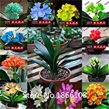 home & garden 100pcs / bag, Clivia seeds, DIY potted plants, indoor / outdoor pot seed germination rate of 95% mixed colors
