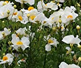 Romneya coulteri aka Matilija Poppy, Fried Egg Plant ... 30 seeds