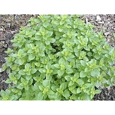 Lumos80 Oregano, Italian, HERB Seed, Heirloom, Organic, 20+ Seeds, Healthy N Tasty HERB : Garden & Outdoor