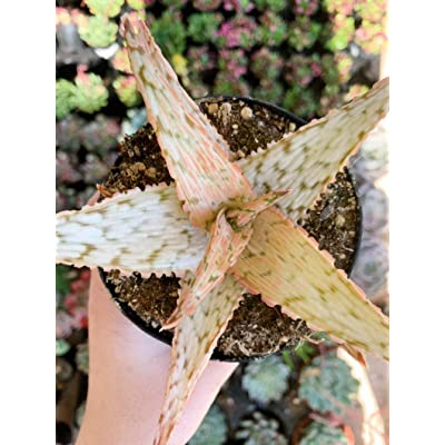 "AchmadAnam - Live Plant - 3.5"" Pink Blush Aloe. E12 : Garden & Outdoor"