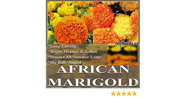 Amazon the dirty gardener african marigold crackerjack t amazon the dirty gardener african marigold crackerjack t erecta flower mix 1 pound tomato plants garden outdoor mightylinksfo