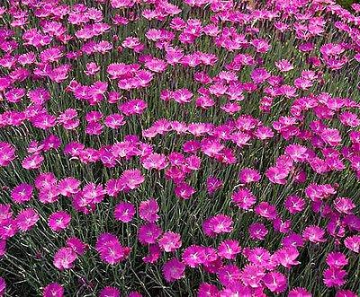 """50+ Perennial Flower Garden Seed - Dianthus - """"Cheddar Pinks"""" Draws Butterflies!"""