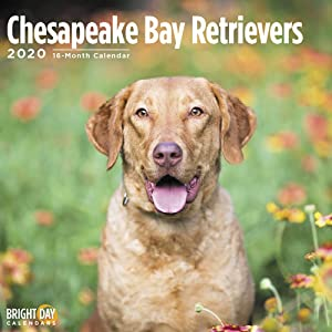 2020 Chesapeake Bay Retrievers Wall Calendar by Bright Day, 16 Month 12 x 12 Inch, Cute Dogs Puppy Animals Hunting Waterfowl CBR Chessie