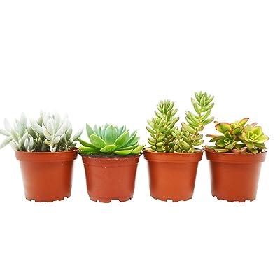"""Live Succulent 4"""" Pot - 4 Variety Pack Plant Gardening tkhps : Garden & Outdoor"""