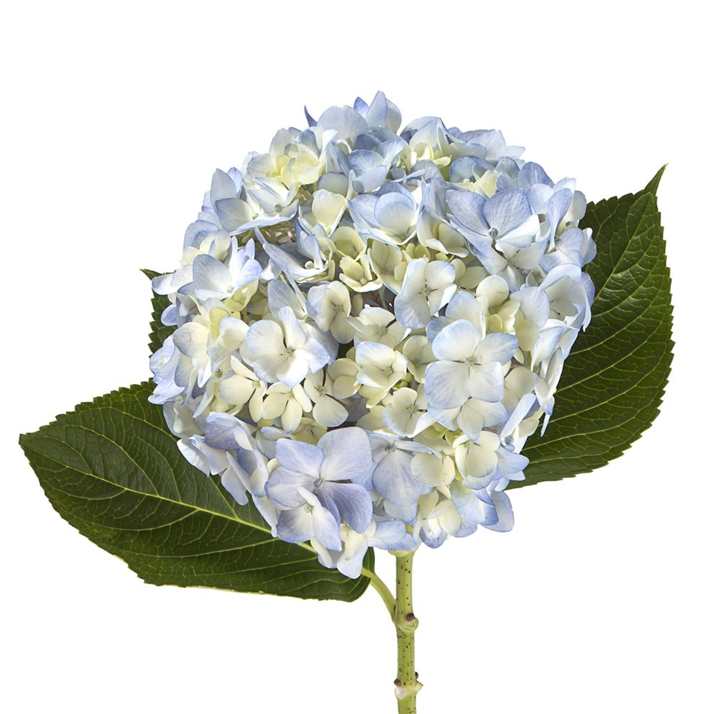 Wholesale Hydrangeas (40 Blue)