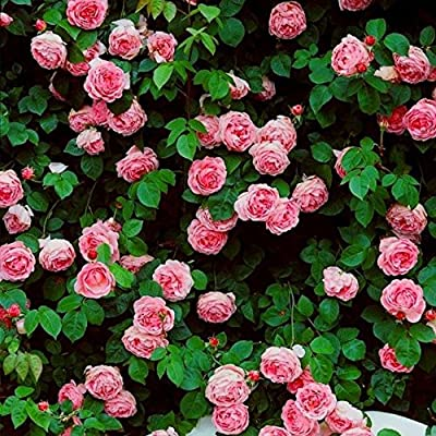 Brand New! 1 Pack, 300 Seeds / Pack, Rare Pink Climbing Rose Seeds, Very Beautiful Ornamental Climbing Flowers : Garden & Outdoor