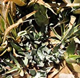 Greer Seed xeriscape plants (Agave colorata)
