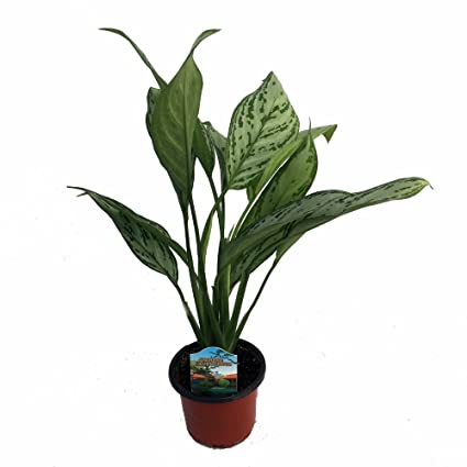 Amazoncom Silver Queen Chinese Evergreen Plant Aglaonema Low