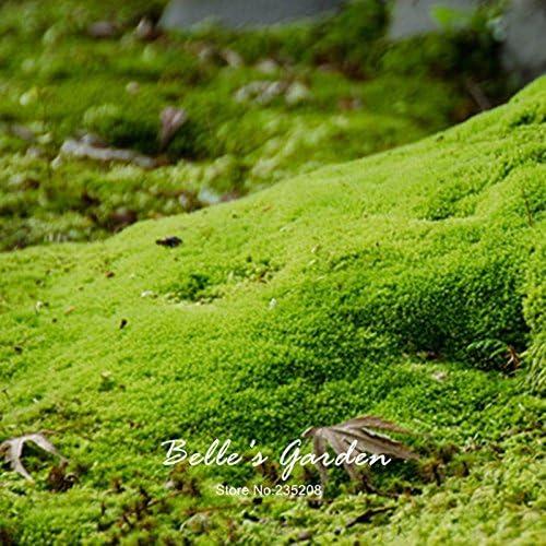 20pcs Sagina subulata Semillas Semillas musgo irlandés Planta creativo cubierta de tierra del jardín de bricolaje: Amazon.es: Jardín