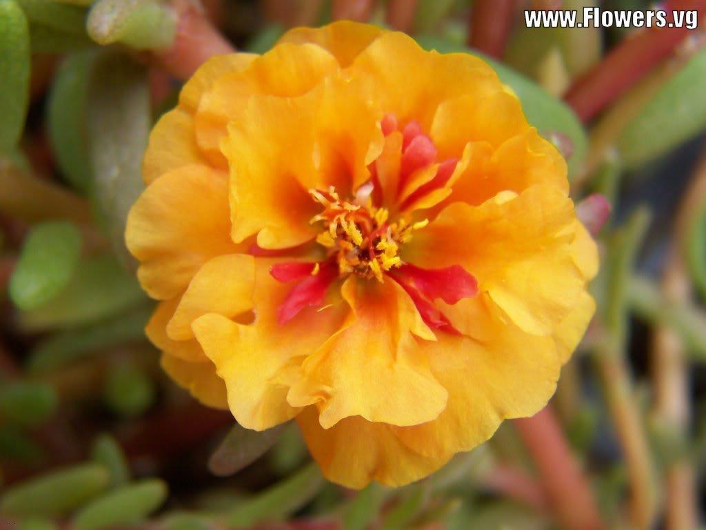 Amazon 100 Orange Portulaca Moss Rose Portulaca Grandiflora