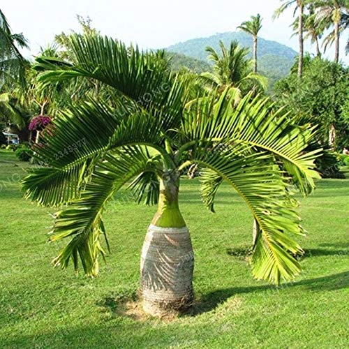 AGROBITS 5 piezas de la palmera Bonsai Las plantas de jardín ornamento Evergreen Trachycarpus fortunei Bonsai paisaje tropical del jardín: Amazon.es: Jardín