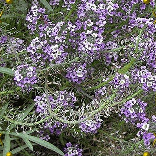 Alyssum Carpet - Everwilde Farms - 2000 Royal Carpet Sweet Alyssum Wildflower Seeds - Gold Vault Jumbo Seed Packet