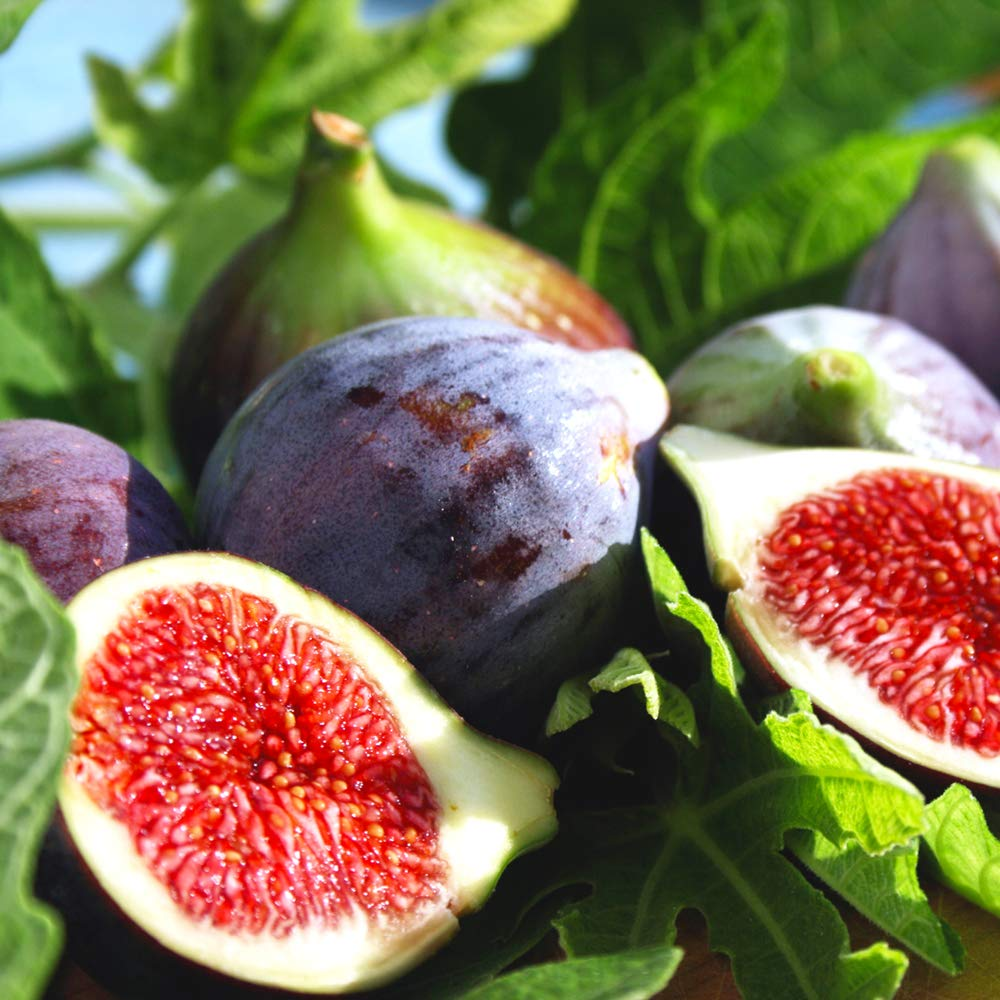 Perfect Plants Black Mission Fig Tree Live Plant, 1 Gallon, Includes Care Guide by PERFECT PLANTS (Image #3)