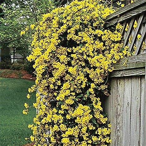 Carolina Jasmine Gelsemium Sempervirens Jessamine 3 Live Plants Beautiful Fragrant Blooming Vine