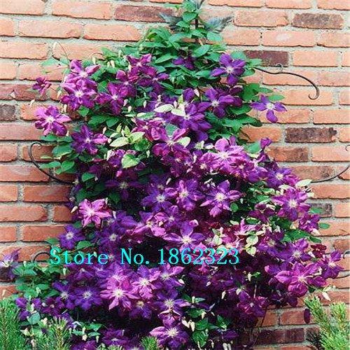 Sago Palm Bonsai Tree (100pcs/bag Cycas seeds, Sago Palm Tree seeds.bonsai flower seeds,the budding rate 97% rare potted plant for home garden)