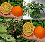 Solution Seeds Farm Orange Naranjilla Solanum Quitoense Fruit Seeds, 200 Seeds