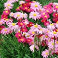 New Pyrethrum - Robinsons Giant Mix - Daisy , PAINTED , GIANT HARDY PERENNIAL , 10 + Seeds !