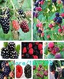 高品質ブラックベリー種子やブラックベリーフルーツの木の種子桑の果実の種子健康栄養 - 100個