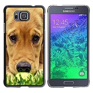 TopCaseStore / la caja del caucho duro de la cubierta de protección de la piel - Labrador Golden Retriever Muzzle Grass Dog - Samsung GALAXY ALPHA G850