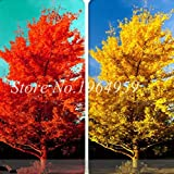 Pinkdose Promotion! 30 Kinds Novel Bonsai Tree Fruit Plant Boston Ivy Osmanthus Coffee Bean Osmanthus Paulownia Pinus Maple Acacia Ginkgo: ginkgo-20