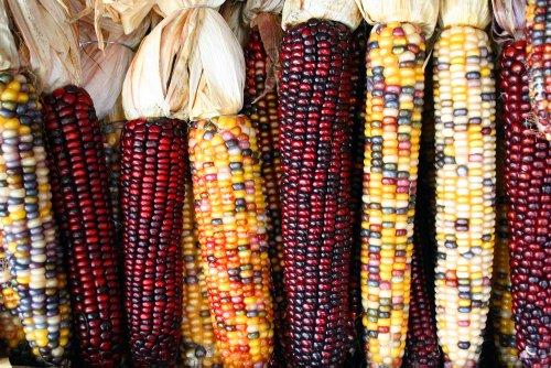 Indian Corn - 6