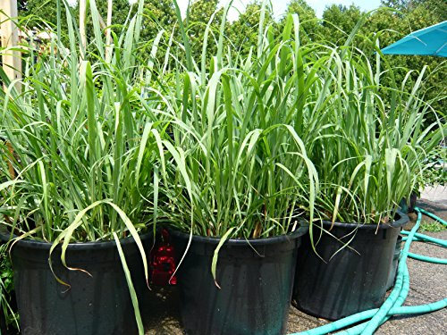 Lemongrass Rootstalk (Cymbopogon Citratus) 2 Live Plants from ..