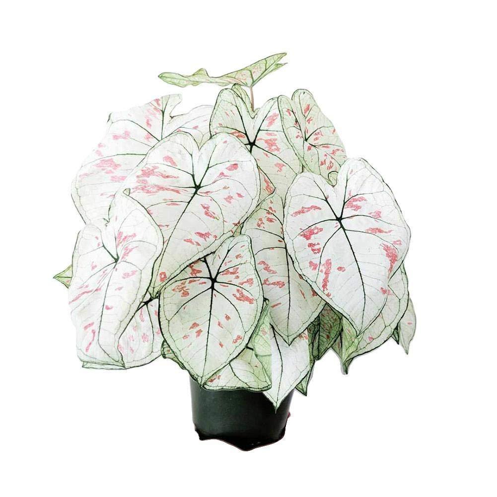 zhuyu 100 Caladium Flower Seeds Mixed Thailand Rare Perennial Garden Home Plant Bonsai