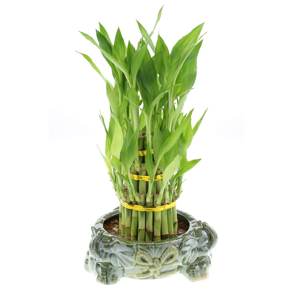 Live Lucky Bamboo 3 Tier Tower with Green Ceramic Elephants Pot - 4, 6, and 8 Inch Lucky Stalks Indoor House Plant for Good Luck, Fortune, Feng Shui and Zen by NW Wholesaler