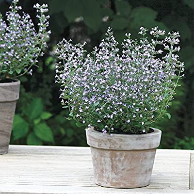 Marvelette White Calamint Seeds Mint-scented Leaves, Glorious Blooms, Butterfly Magnet, Buzzing with Bees, New 2017, 15 seed
