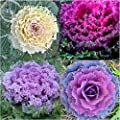 Brassica Oleracea Heirloom Mixed Ornamental Kale, 30 Seeds, Flowering Cabbage Non-Gmo White Red Purple Colors