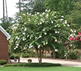 Natchez White Crape Myrtle Tree - Live Plant - Quart Pot