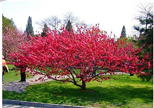 100 Seeds Flowering Almond, Flowering Plum Tree (Amygdalus triloba) , by Seeds and Farms ()