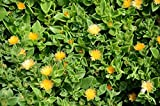 Sun Jewel Yellow Sun Flower Rose Succulent - Aptenia Cordifolia - ROOTED PLANT