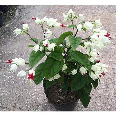TelDen Garden - 100pcs Fuchsia Flower, Lantern Flower Seeds, Bell Flower, Lantern Begonia, Bonsai Flower Seeds, Plant for Home & Garden : Garden & Outdoor