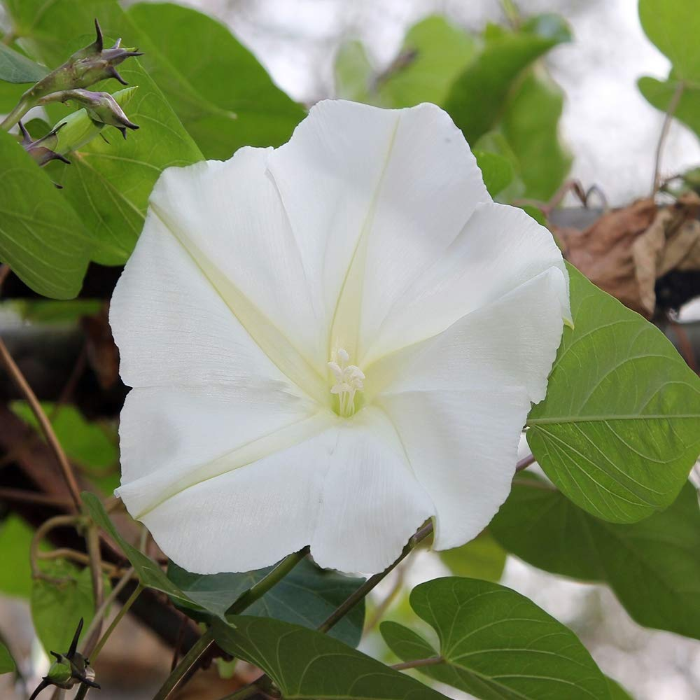 Outsidepride Moonflower Vine Plant Flower Seed
