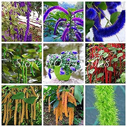 Amazoncom Kasuki 100 Pcsbag Imported Acalypha Hispida Plant