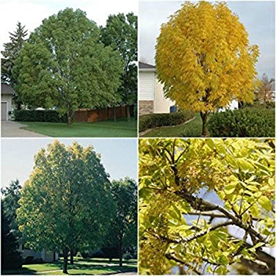 HIGH Germination Seeds:100 Seeds : Manchurian Ash Tree Seeds, Fraxinus Mandshurica Wings