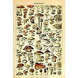 Vintage Poster Print Art Botanical Mushrooms Diagram Chart Champignons Identification Reference15.75'' x 23.62''