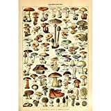 Vintage Poster Print Art Botanical Mushrooms Diagram Chart Champignons Identification Reference20.87'' x 31.50''