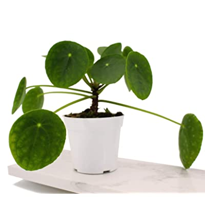 "Houseplant Homestead Chinese Money Plant, Pilea Peperomioides, Rounded Green Semi Succulent Leaves, Live Indoor Plant (with 4"" Nursery Pot) : Garden & Outdoor"