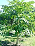 Fresh papaya leaves - ORGANIC - 1/4 LB - Certified fresh from Florida - Harvested fresh from trees after an order is placed