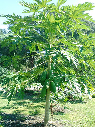 Fresh papaya leaves - ORGANIC - 1/4 LB - Certified fresh from Florida - Harvested fresh from trees after an order is placed by Hilltop Fresh