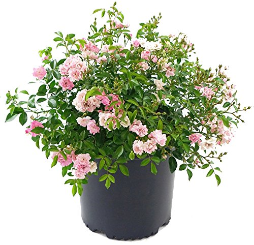 Shrub Rose - Rosa 'The Fairy' (Shrub Rose) Rose, double pink flowers, #3 - Size Container