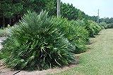 1 Rooted of Chamaerops Humilis (Mediterranean Fan Palm)