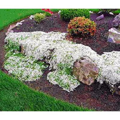"White Creeping Thyme Plant - Lightly Scented - Live Plant -3"" Pot : Herb Plants : Garden & Outdoor"