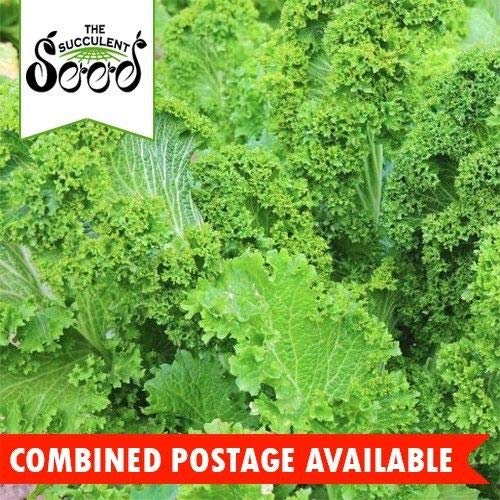 Mustard - Southern Giant Curled (1500 Seeds) Spicy Salad Green Bulk Heirloom ()