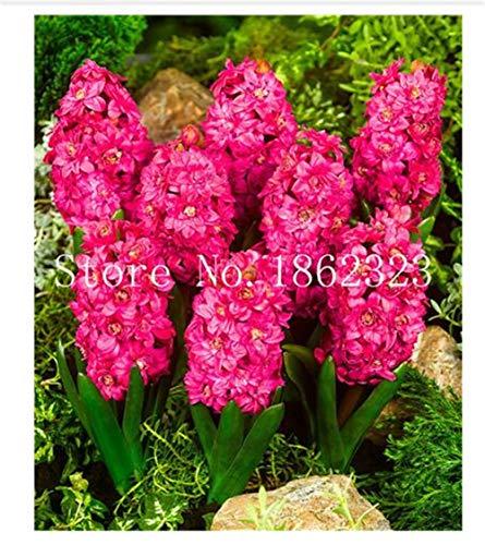 100 pcs Seeds Hyacinth Bonsai, Perennial Hyacinth Potted Plant Bonsai Plant Flower for Home Garden #02