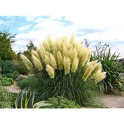 Pampas Grass Silvery Cortaderia selloana perennials Flower Seeds. 500 Seeds : Garden & Outdoor
